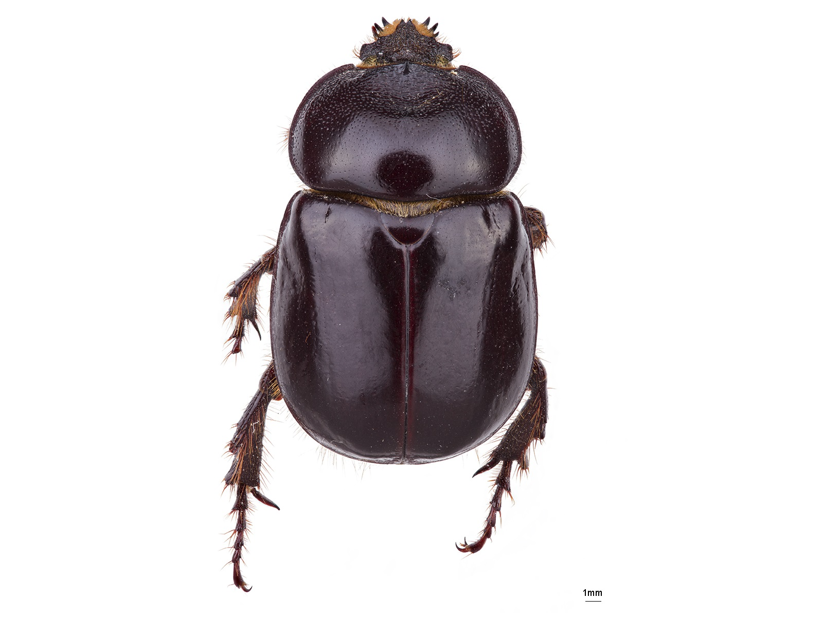 Bothynus complanus(Burmeister, 1847)