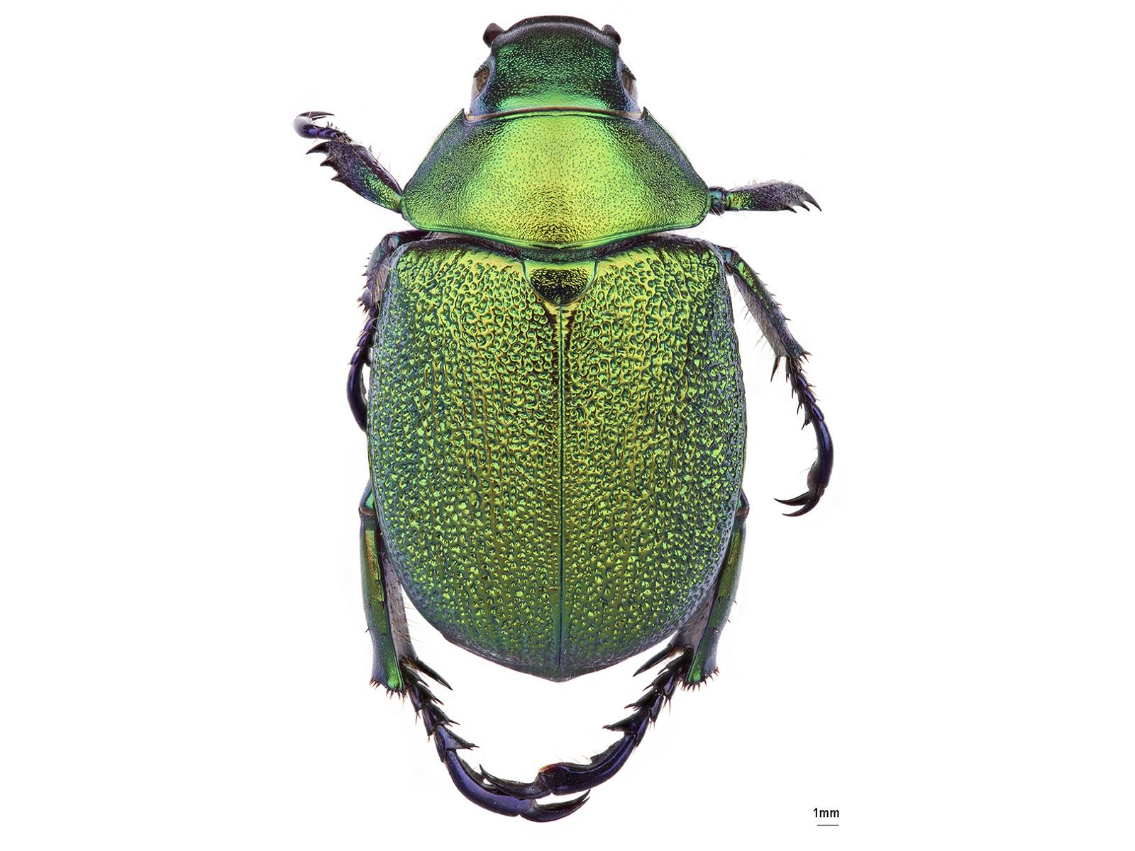 Chrysophora chrysochlora (Latreille, 1811)