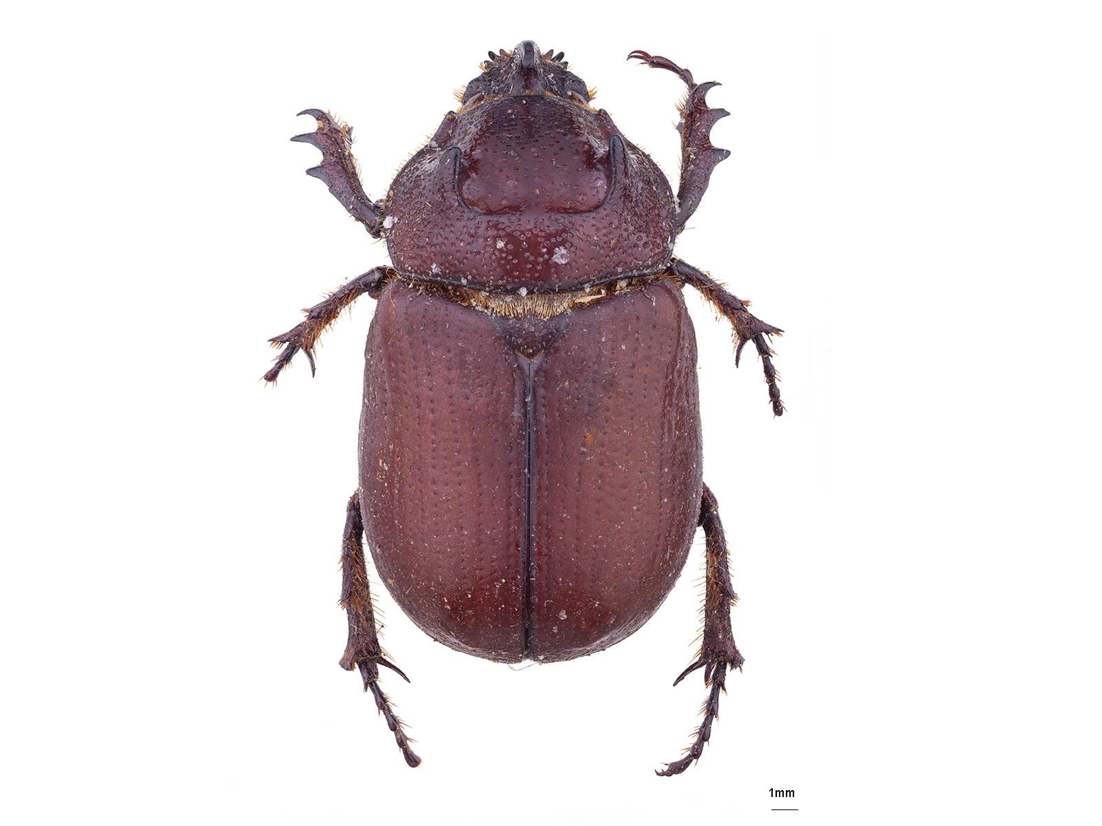 Coelosis bicornis (Leske, 1779)