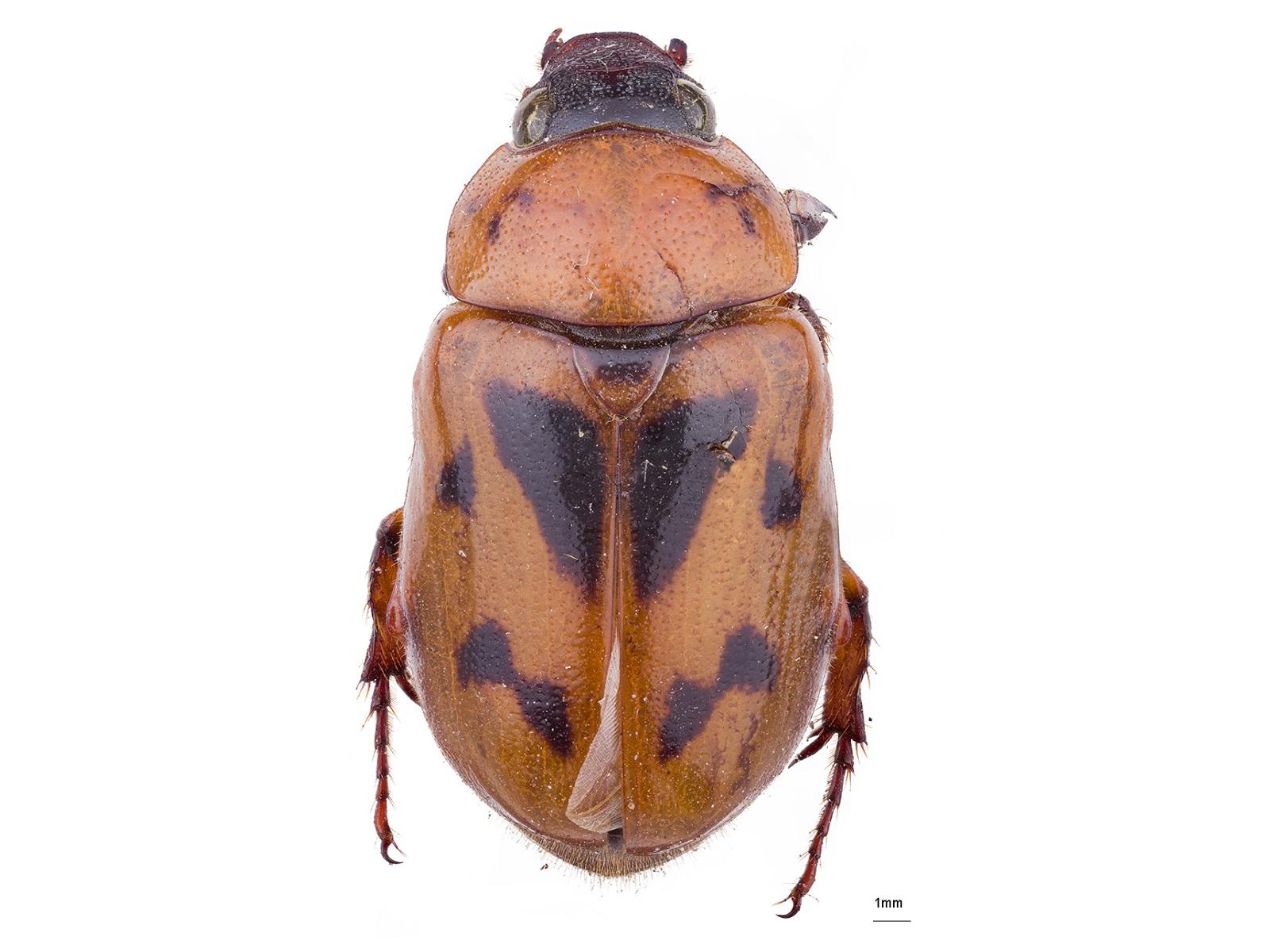 Cyclocephala sexpunctata Castelnau, 1840
