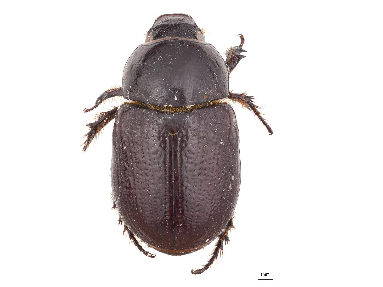 Erioscelis spp.