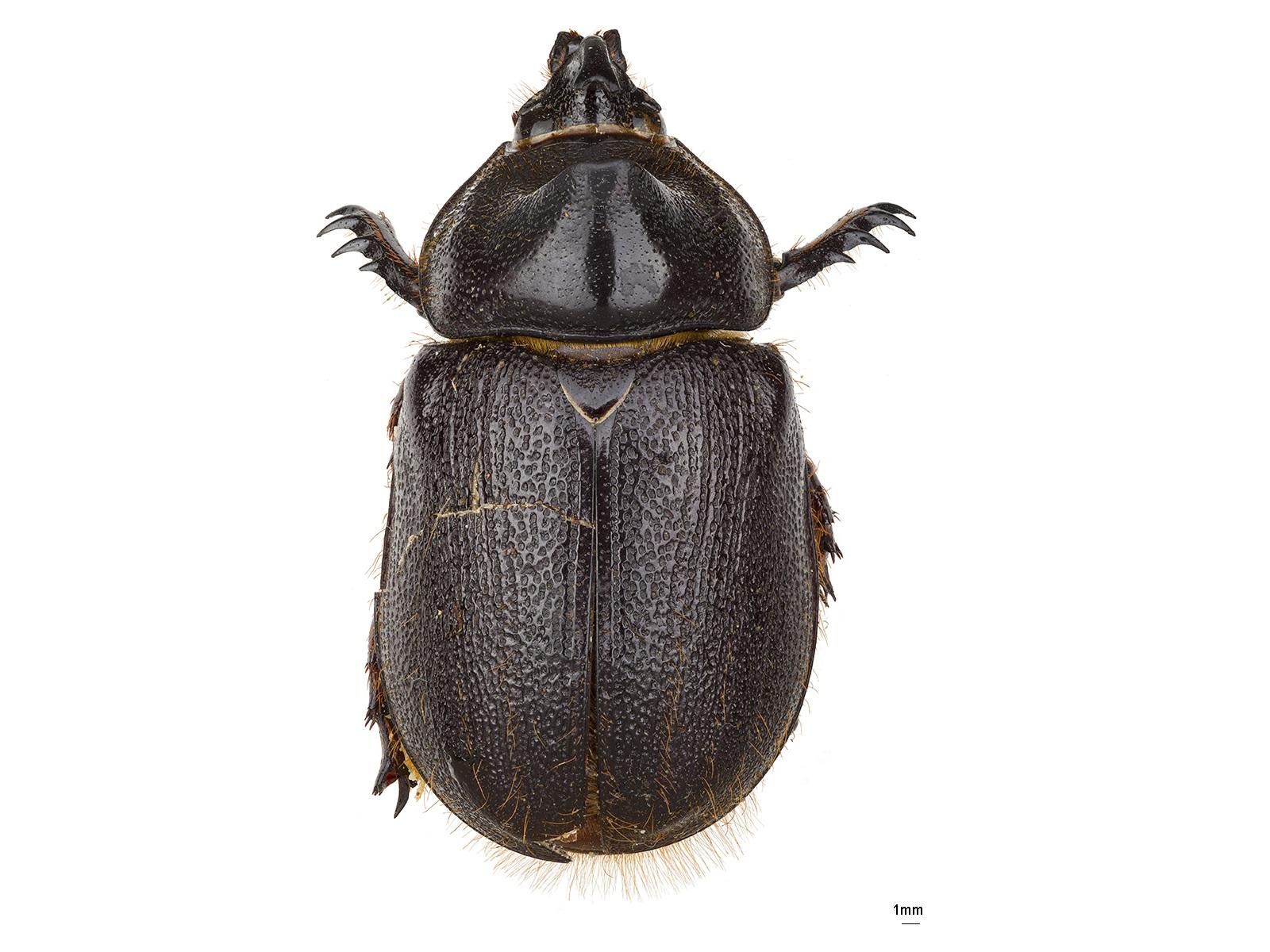 Heterogomphus carayoniDechambre, 1986