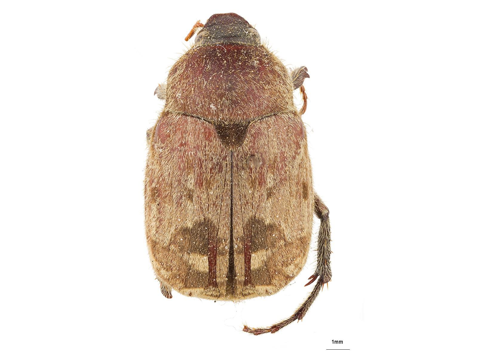 Isonychus pictus Sharp, 1877