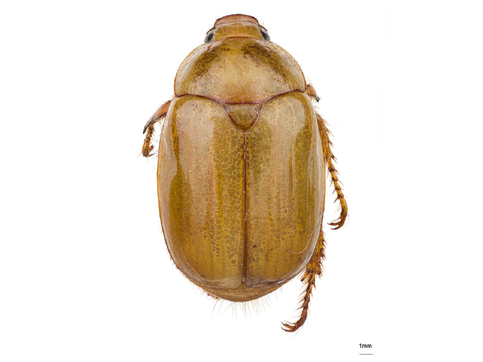 Leucopelaea albecens Bates, 1891