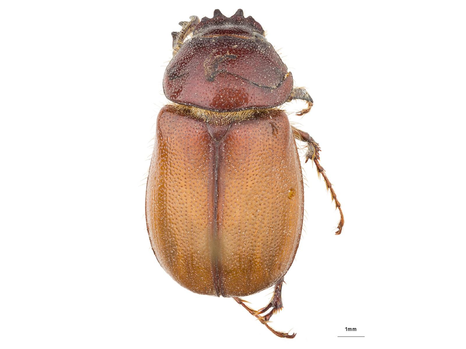 Liogenys quadridens (Fabricius, 1798)