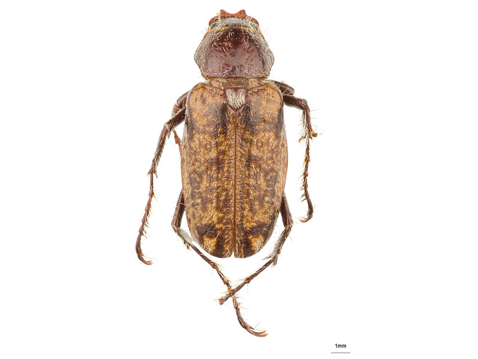 Manopus biguttatus Laporte de Castelnau, 1840