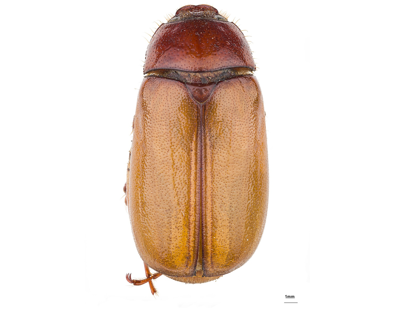 Phyllophaga (Phytalus)obsoleta(Blanchard,1851)