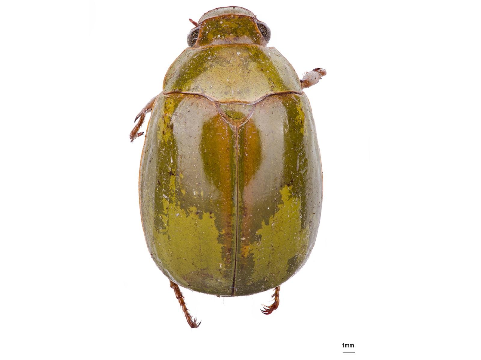Platycoelia valida Burmeister, 1844
