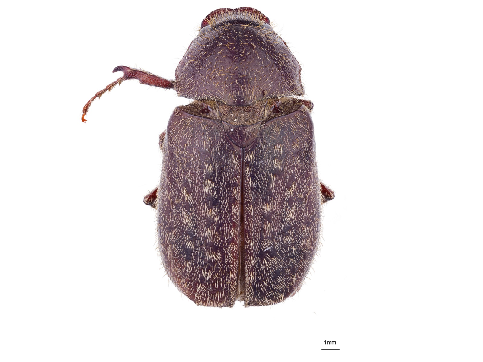 Plectris pavida (Burmeister, 1855)