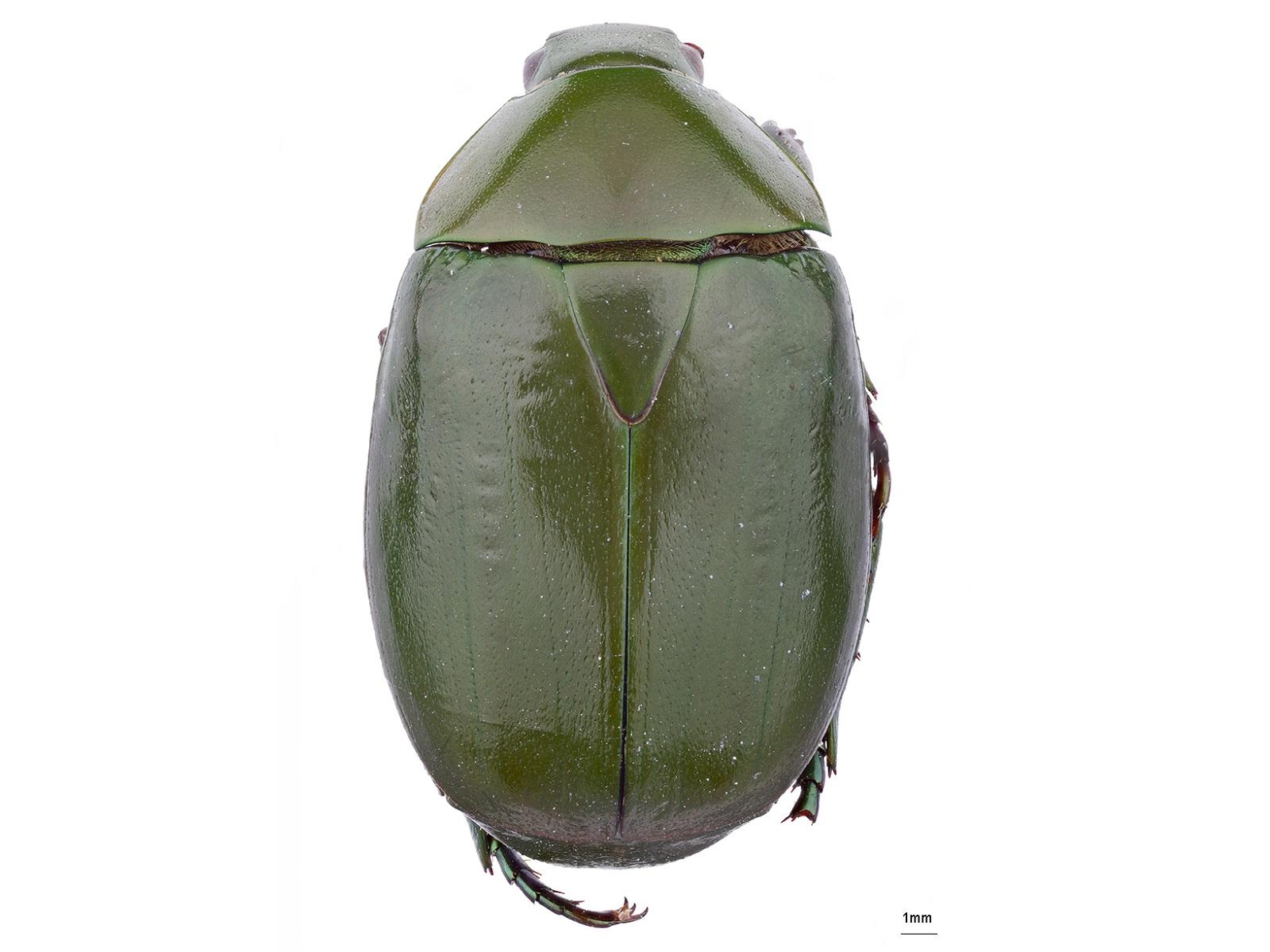 Ptenomela columbica Ohaus, 1908