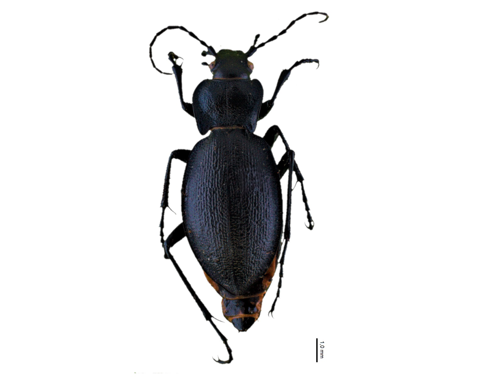 Carabus problematicusHerbst, 1786