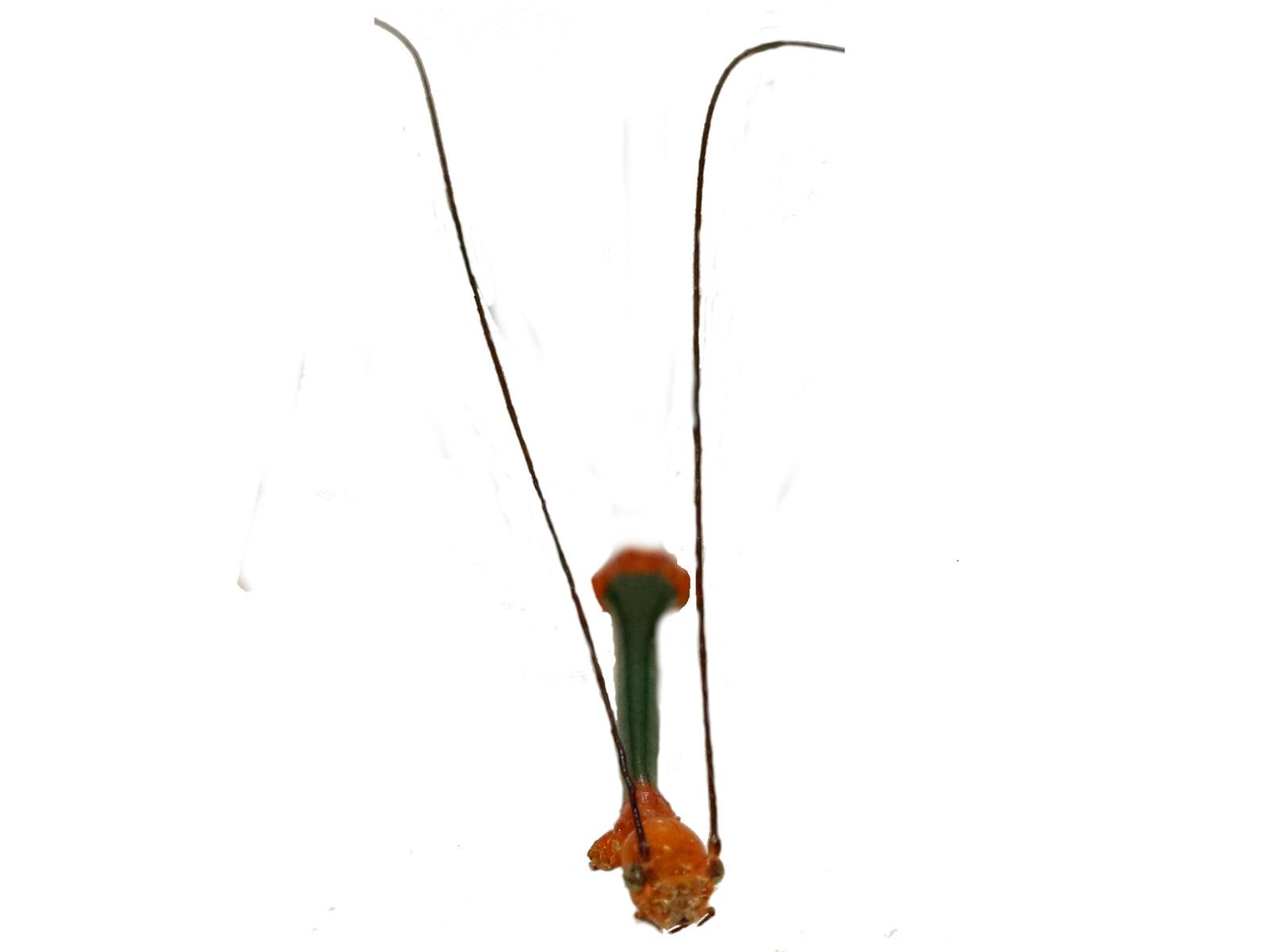 Oncotophasma aurantiaviridiata Murcia, Cadena-Castañeda and Silva, 2020