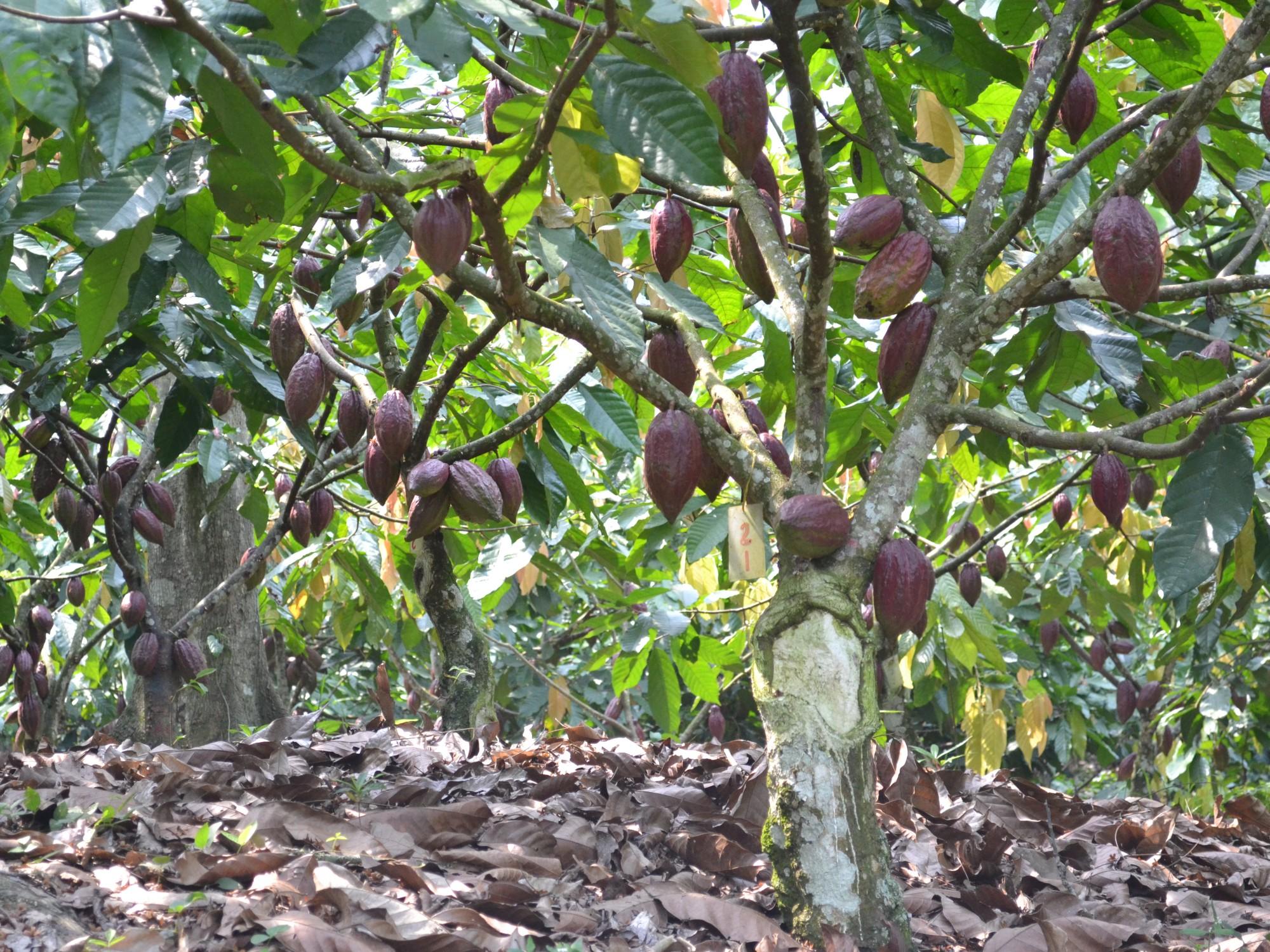 Subproductos del cacao con potencial para la alimentación animal