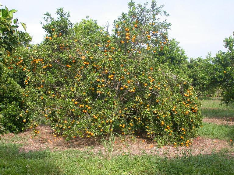 Adecuación química de Oxisoles de la Orinoquia para el establecimiento del cultivo de cítricos y frutales perennes; y manejo de la nutrición mineral.