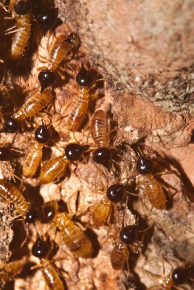 Recomendación monitoreo y manejo cultural de termitas subterráneas o comején (Blattodea: Termitoidea) en cultivos de cítricos de la región Caribe de Colombia.